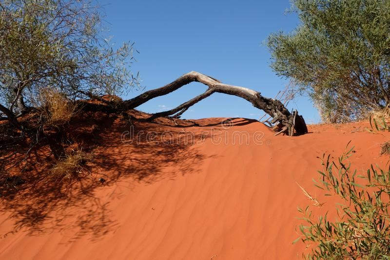 Tree on the red sand dune royalty free stock photo