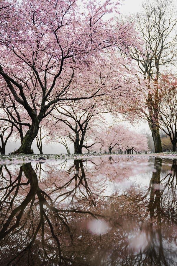 Tree, Reflection, Pink, Flower stock photo
