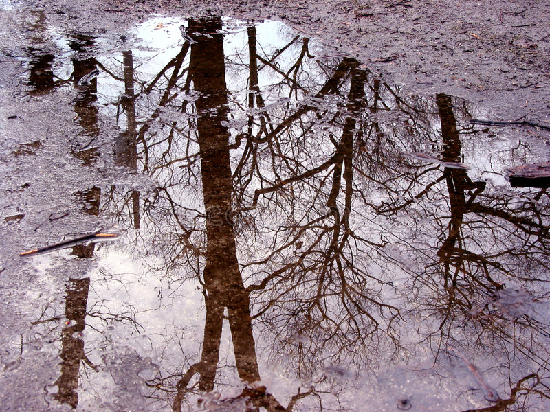 Tree reflection in puddle stock photography