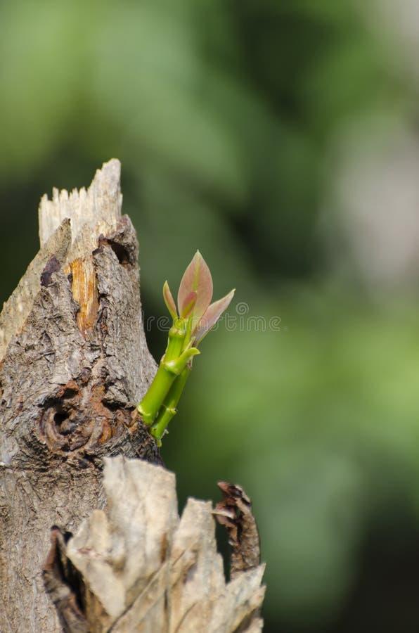 Tree regeneration royalty free stock image