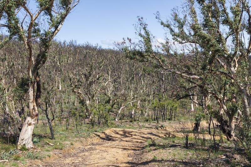 Tree regeneration in The Blue Mountains after the Australian bush fires. Tree regeneration in The Blue Mountains after the severe Australian bush fires royalty free stock image