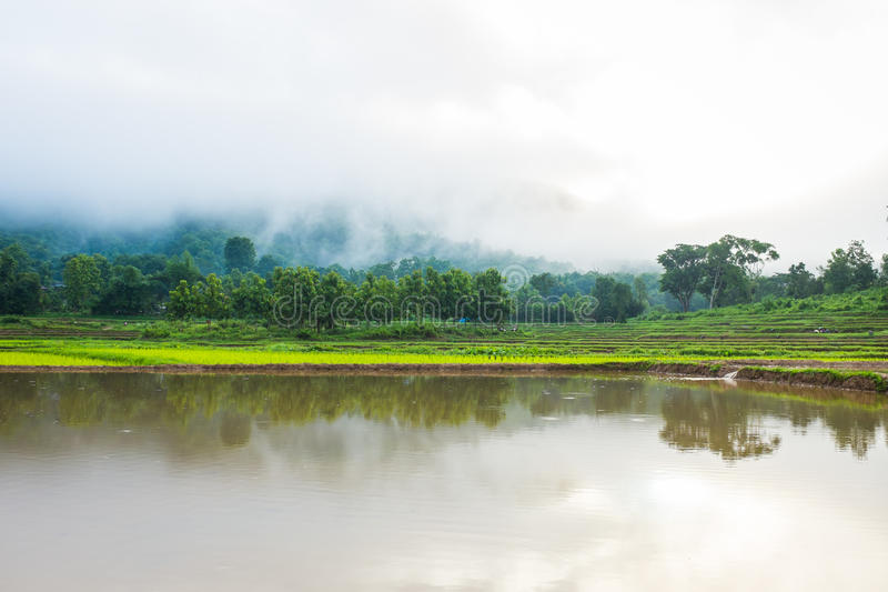 Tree in rice field fog and mountain stock photos