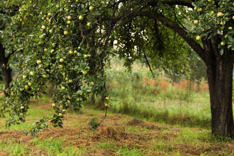 Tree with ripe apples stock photo