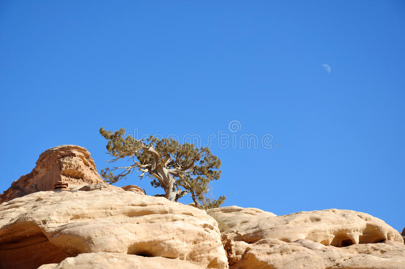 Tree on the rock royalty free stock image