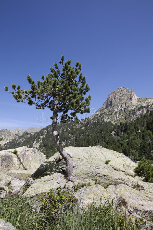 Tree on rock royalty free stock photography