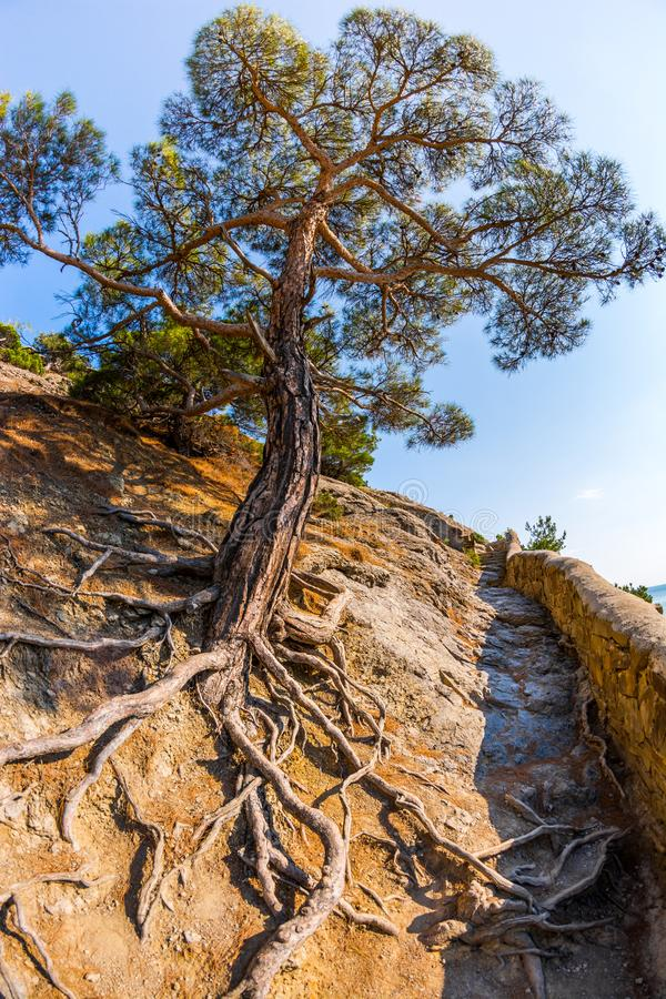Tree in the rock. Tree growing in the rock, summer, beach, tranquil, climate, range, russia, season, coast, water, day, park, national, crimea, stone, scenic stock photos