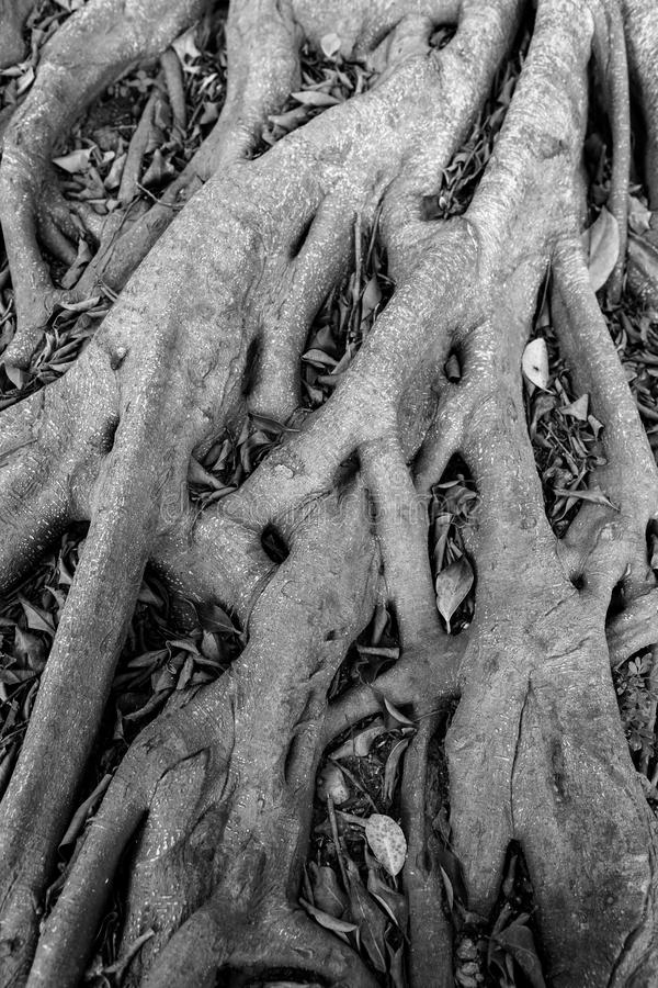 Tree root. Banyan tree roots deep into the soil royalty free stock images