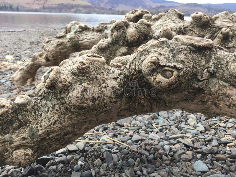 Tree root network exposed by water and wind. Tree root network exposed by elements, near lakes and rivers, as the wind and water erode the soil, growing on the stock photo