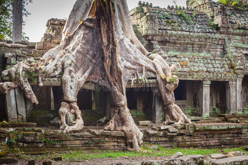 Tree root overgrowing parts of ancient Preah Khan Temple at angk royalty free stock image