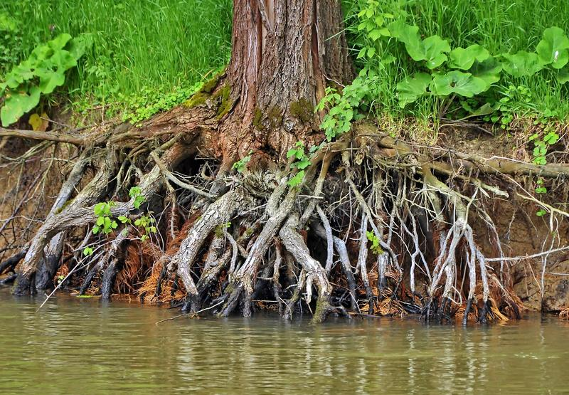 Tree root. In Danube delta stock photos
