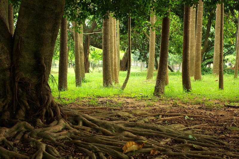 Download Tree roots stock photo. Image of forested, high, field - 13832946