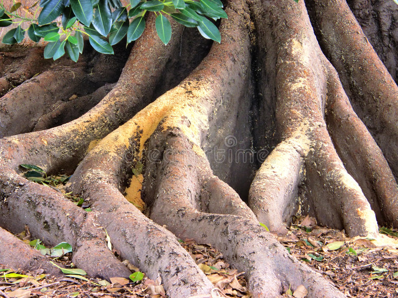 Download Tree Roots stock photo. Image of foliage, bark, wood, huge - 3077224