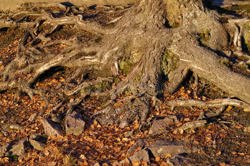 Tree Roots. Roots of an old tree, visible above the surface of the ground stock photos