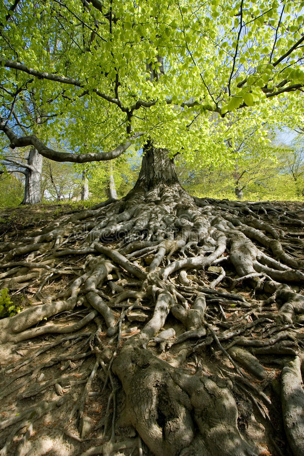 Download Tree roots stock photo. Image of detailed, spring, extended - 3986558