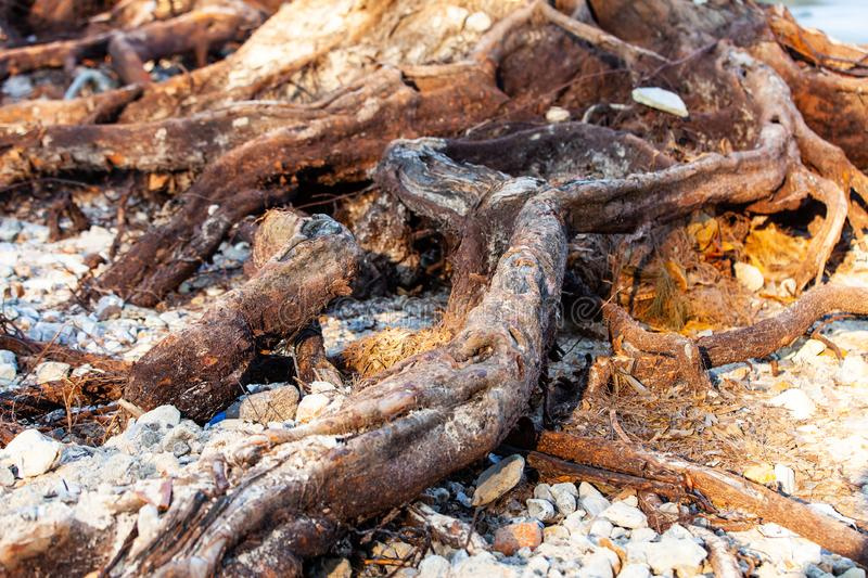 Tree roots on the beach royalty free stock photography