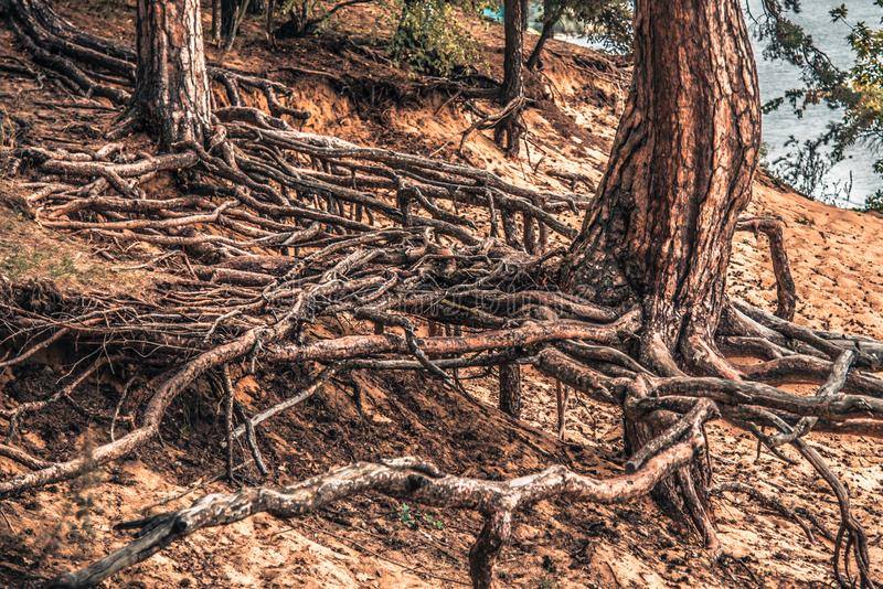 Tree roots closeup. Long tree roots of pine tree royalty free stock image