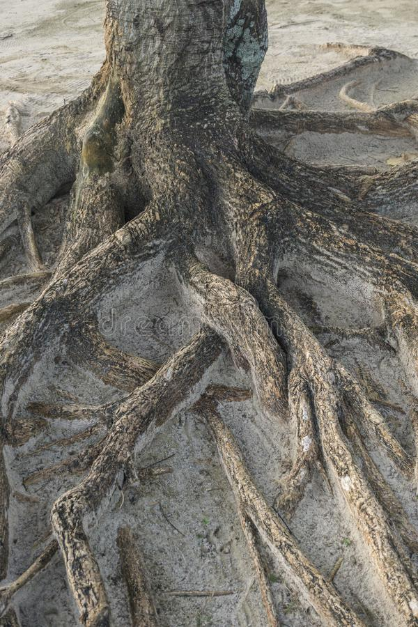 Tree roots coming out of the ground royalty free stock images