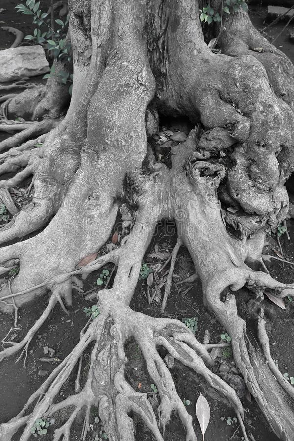 Tree roots entanglement royalty free stock images