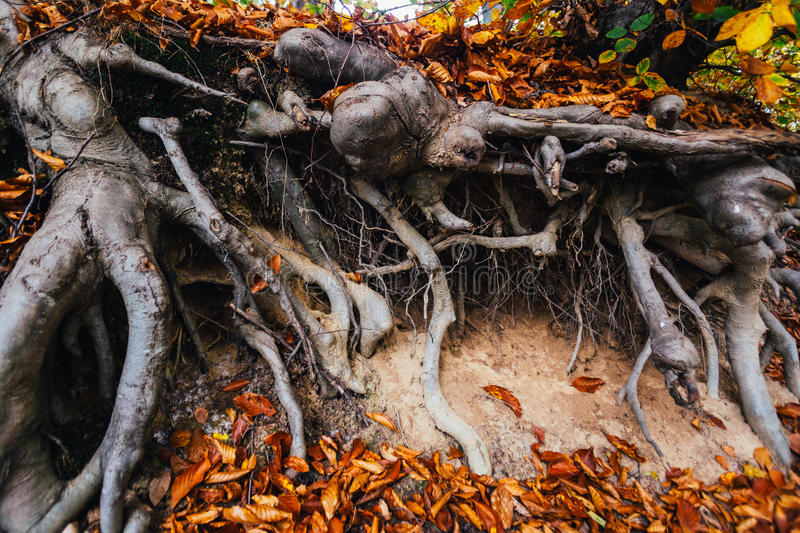 Tree roots exposed. Bent tree roots exposed above ground stock photos