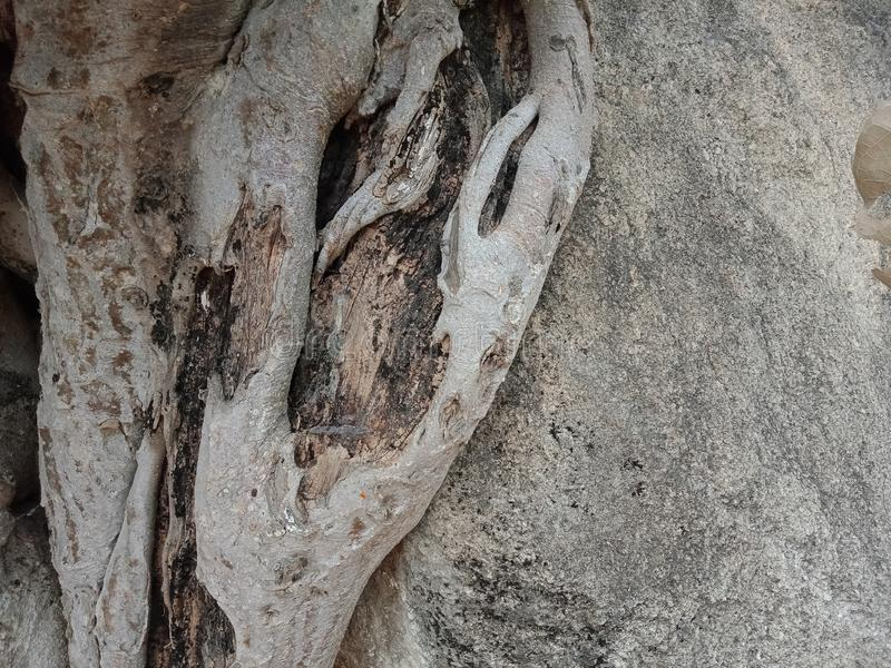 Tree bark texture. Tree roots grown over large rock, tree roots bark texture, nature creation background wallpaper. many uses for advertising, book page royalty free stock photos