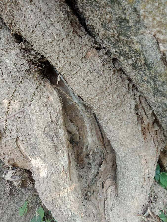 Tree bark texture. Tree roots grown over large rock, tree roots bark texture, nature creation background wallpaper. many uses for advertising, book page royalty free stock images