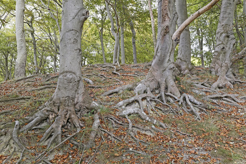 Tree roots. Image of tree roots taken in Sharpenhoe clappers, Sharpenhoe, Bedfordshire, england stock photos