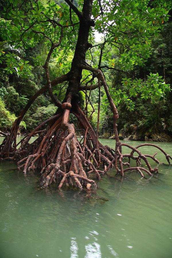 Free Tree Roots In Water Stock Photos - 4779703