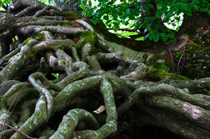 Tree roots. Magic old tree roots in the forest stock image
