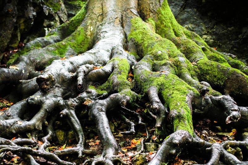 Tree roots, Moravian Karst, Czech Republic stock photo