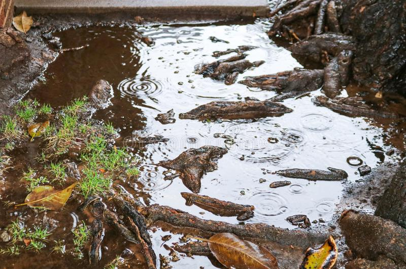 Tree roots pool water during rain possibly causing flooding, sewer or plumbing problems royalty free stock photo