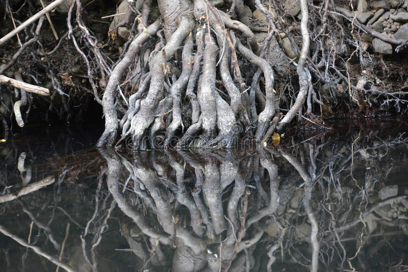 Tree roots reflected in still water royalty free stock photography