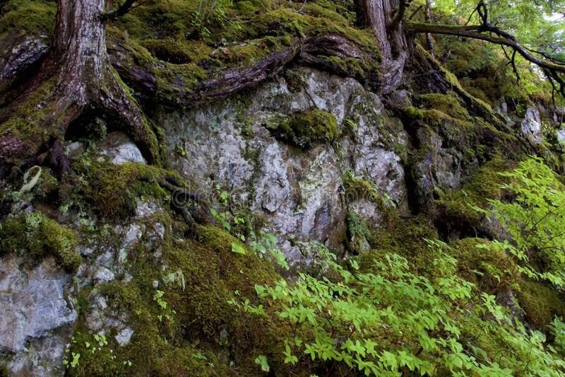 Tree Roots on Rock   843312. Scenic conifer tree roots exposed and moss covered on rock outcropping on Baranof Island Alaska  843312 stock photos