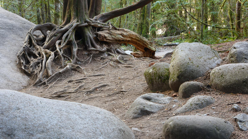 Tree Roots on Rocks stock photography