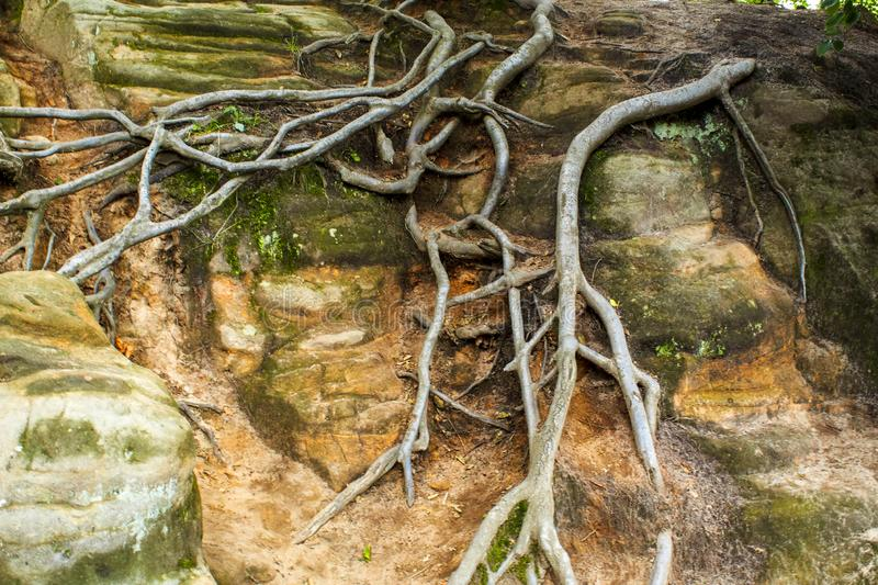 Tree roots on a rocky surface stock photo