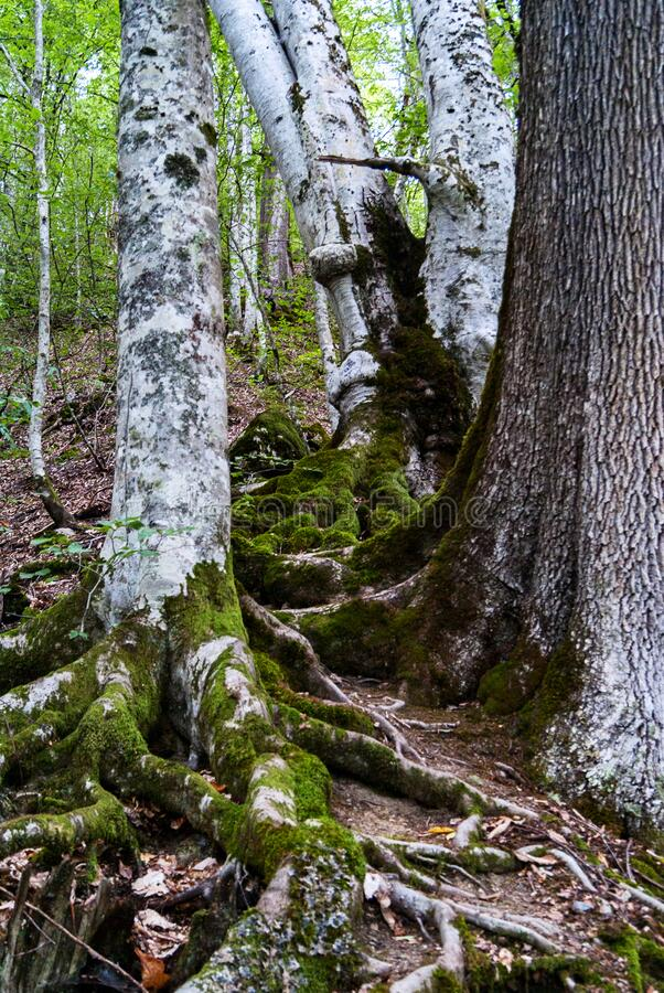 Tree roots in southern forest covered with moss. Greenery stock images