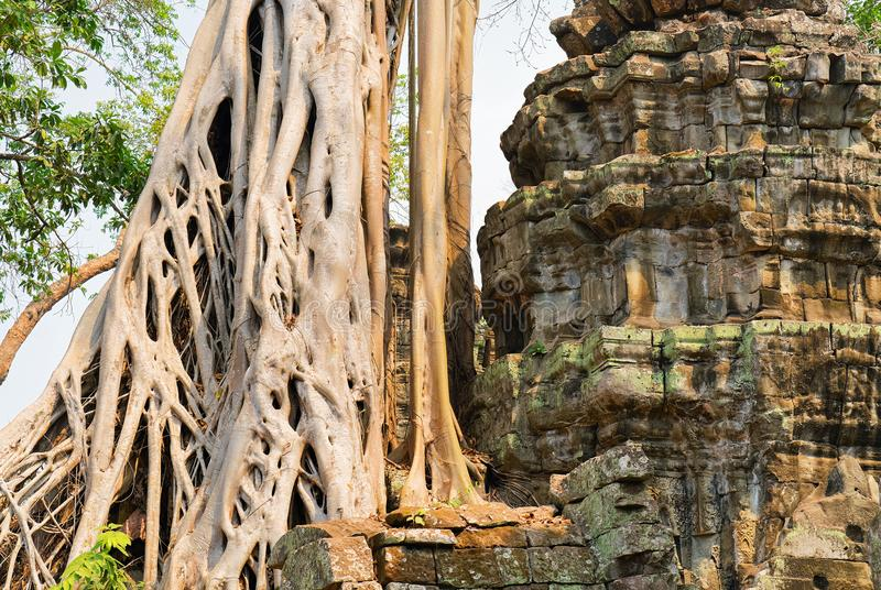 Tree roots in Ta Prohm temple complex Siem Reap Cambodia stock photo