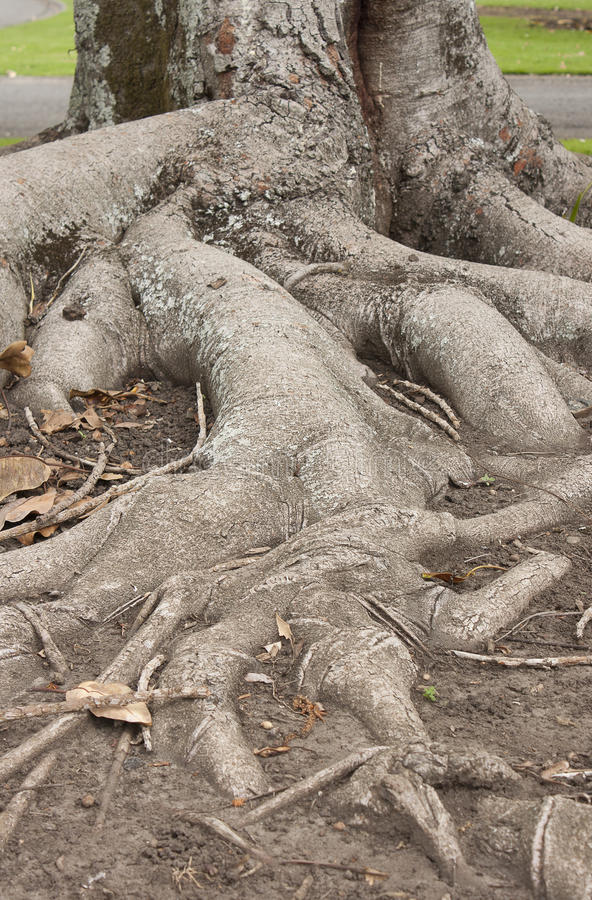 Download Tree Roots stock image. Image of branch, background, natural - 34201211