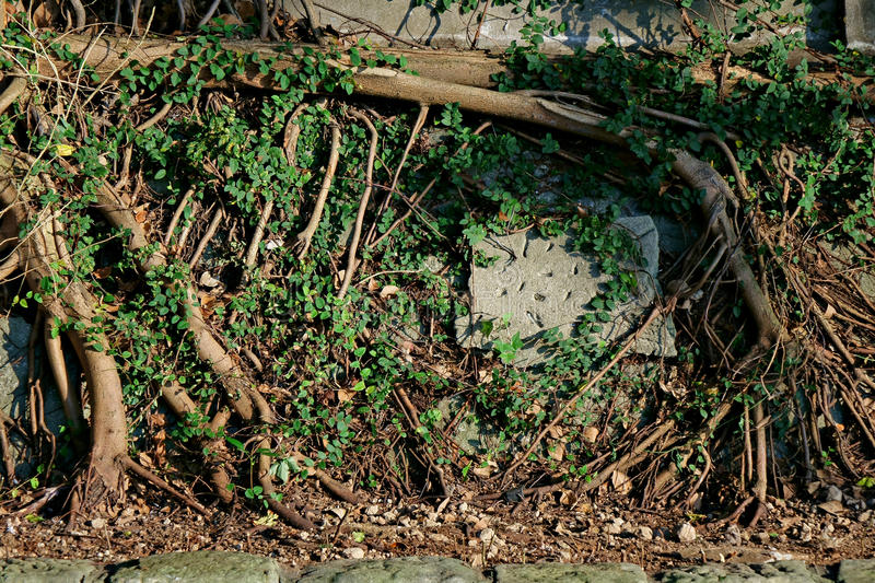 Tree roots on wall stock image
