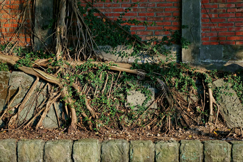 Tree roots on wall stock photography