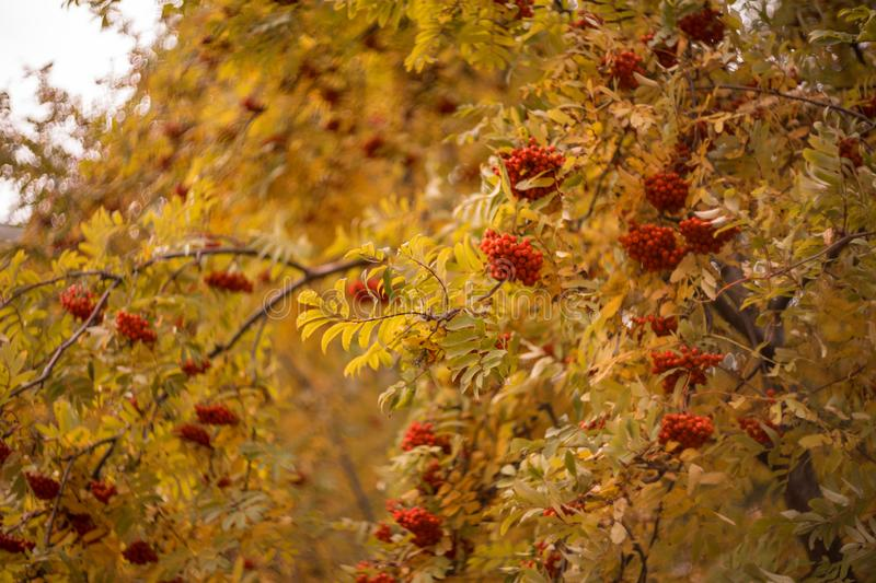 tree rowan autumn day yellow leaves red berries bokeh background outdoor royalty free stock images
