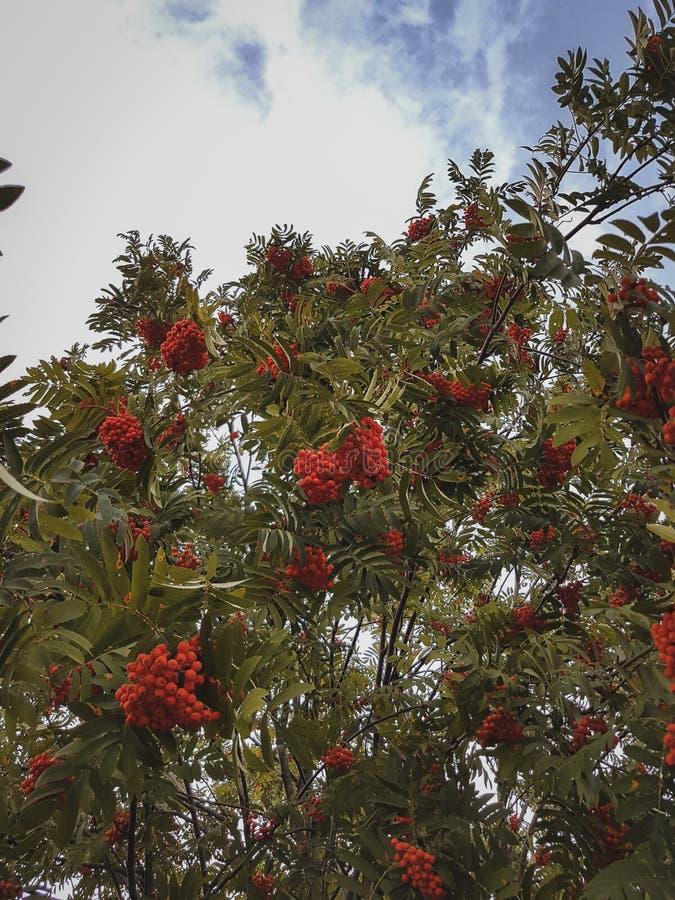 Tree rowan royalty free stock photos