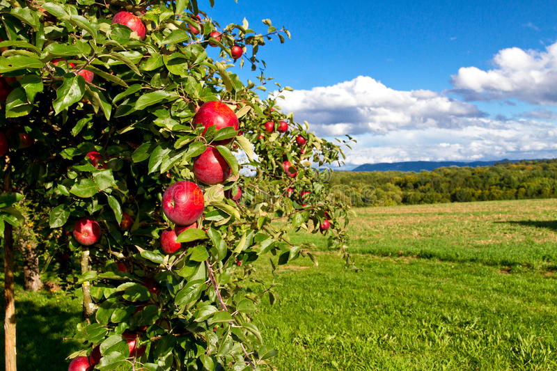 tree´s del Apple immagini stock
