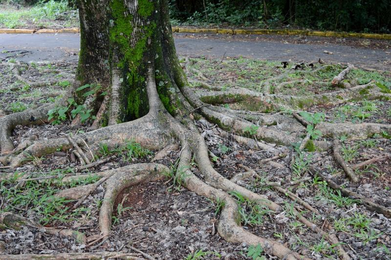 Tree's Roots royalty free stock photos