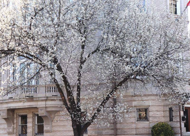 Tree`s Whte Blossom Spectacular Against Stone Building stock photos