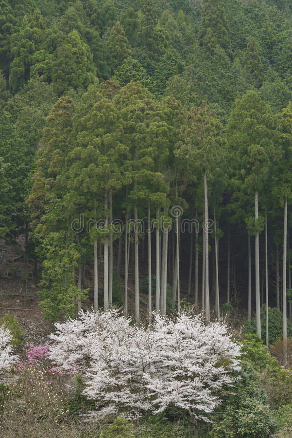 Tree and sakyra flower. Cupressaceae tree forest and sakyra flower in historical village Miyama in Kyoto, Japan, nature background stock photos