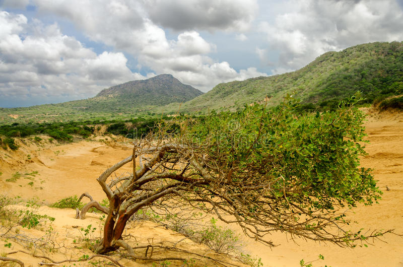 Tree and Sand Dune royalty free stock photos