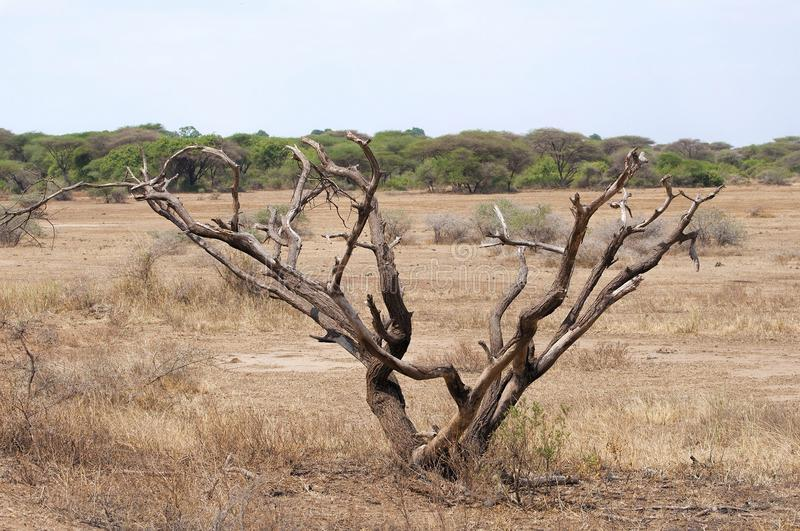 Tree in Savanna. Land, Africa royalty free stock photography