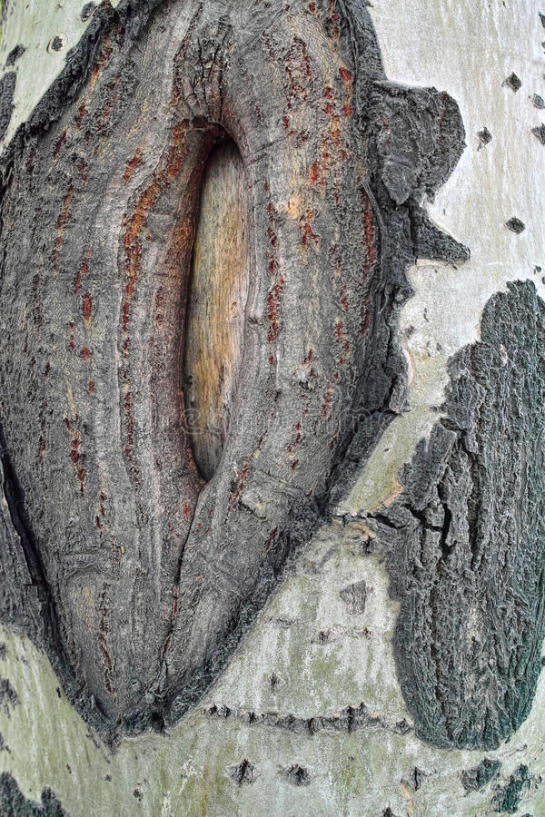 Tree scar. The close-up of scar on poplar trunk royalty free stock photo