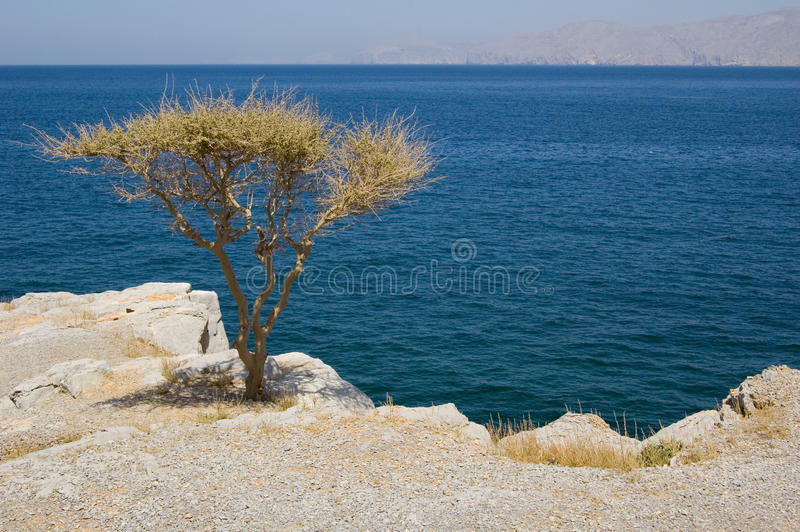 A TREE BY THE SEA IN OMAN stock image