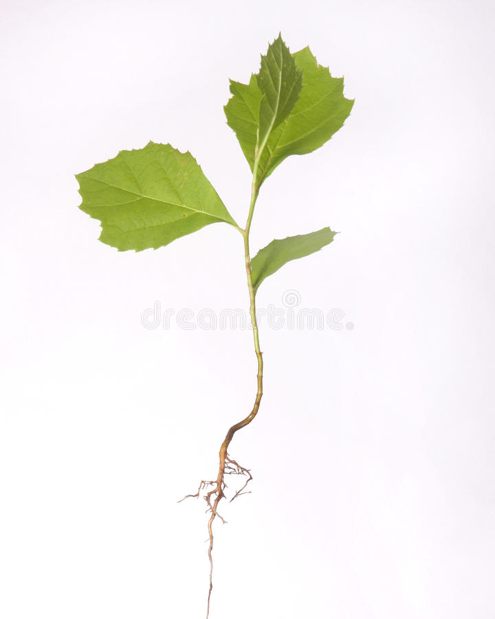 Tree seedling with root isolated on white stock photo for Tree sapling